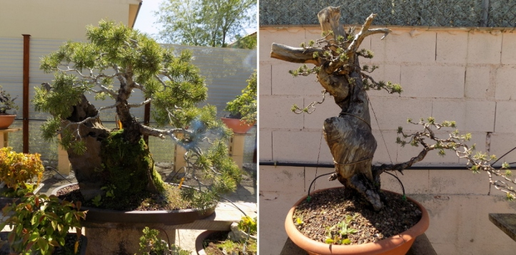 bonsai.llena.2